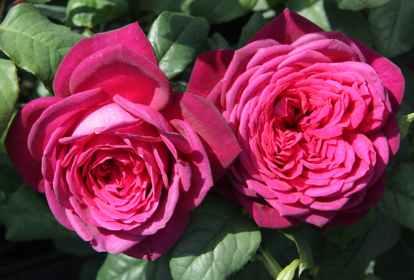 Иоганн вольфганг фон гете роза