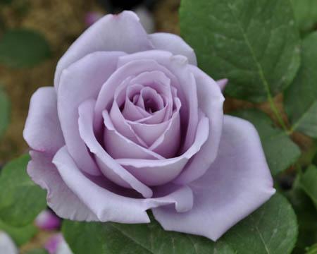 Роза майнцер фастнахт