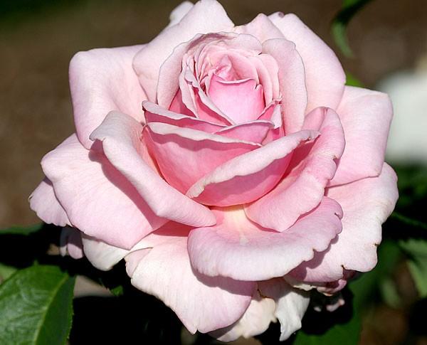 Купить розы parfum de liberte турецкие фирмы доставки цветов