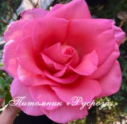 ROSE DU MERITE (Роз Дю Мерит)