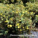 "Лапчатка кустарниковая ""Мэдисин Уил Маунтайн"" (Potentilla fruticosa ""Medicine Wheel Mountain"")"