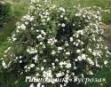 "Лапчатка кустарниковая ""МакКейс Уайт"" (Potentilla fruticosa ""McKay's White"")"