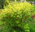 """Пузыреплодник калинолистный """"Наггет"""" (Physocarpus opulifolius """"Nugget"""")"""