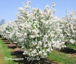 "Яблоня декоративная ""Эверест"" (Malus ""Evereste"")"