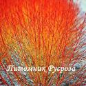 "Дерен кроваво-красный ""Winter Orange"" (Cornus sanguinea «Anny's Winter Orange»)"