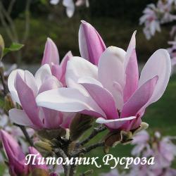 "Магнолия ""Джордж Генри Керн"" (Magnolia 'George Henry Kern')"