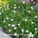 "Лапчатка трехзубчатая ""Нук"" (Potentilla tridentata ""Nuuk"")"
