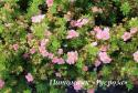 "Лапчатка кустарниковая ""Пинк Куин"" (Potentilla fruticosa ""Pink Queen"")"