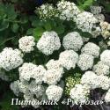 """Спирея березолистная """"Tor"""" (Тор) (Spiraea betulifolia)"""
