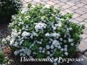 """Спирея березолистная """"Island"""" (Айленд) (Spiraea betulifolia)"""