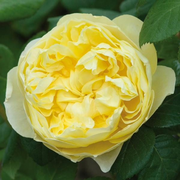 Роза чарльз дарвин фото и описание