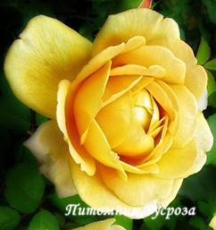 Голден селебрейшен роза фото описание
