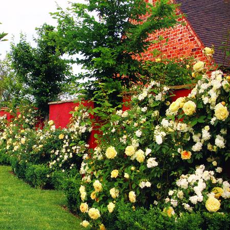 С чем сажать розы остина 58