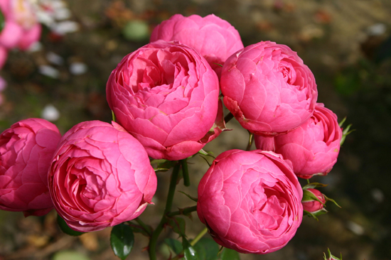Роза сорта помпонелла купить