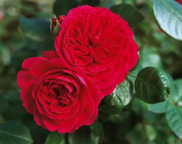 Роза ред. леонардо