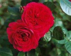 RED LEONARDO DE VINCI (Ред Леонардо да Винчи)