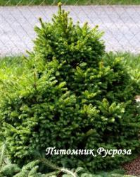 """Ель обыкновенная """"Барри"""" (BARRYI)"""