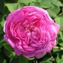 ROSA CENTIFOLIA MUSCOSA (Роза Центифолия Мускоза)