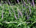 "Вероникаструм виргинский ""Apollo"" (Veronicastrum virginicum)"