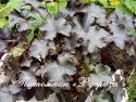 "Гейхера ""Blackout"" (Heuchera hybride)"