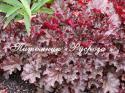 """Гейхера """"Berry Marmelade"""" (Heuchera hybride)"""