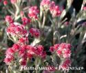 "Кошачья лапка ""Rubra"" (Antennaria dioica)"