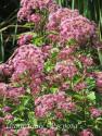 """Посконник пятнистый """"Red Dwarf"""" (Eupatorium maculatum)"""