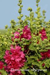 "Шток-роза ""Carmine Rose"" (Alcea rosea)"