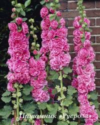 "Шток-роза ""Chater's Double Rose"" (Alcea rosea)"