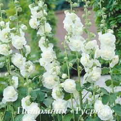 "Шток-роза ""Chater's Double White"" (Alcea rosea)"