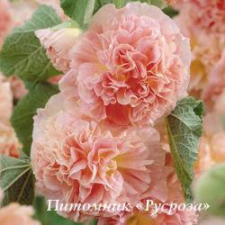 "Шток-роза ""Chater's Double Apricot""  (Alcea rosea)"