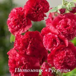 "Шток-роза  ""Chater's Double Scarlet"" (Alcea rosea)"