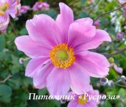 """Анемона """"Margarete"""" (Anemone)"""