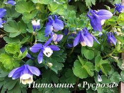 """Аквилегия вееровидная """"Ministar"""" (Aquilegia flabellata)"""