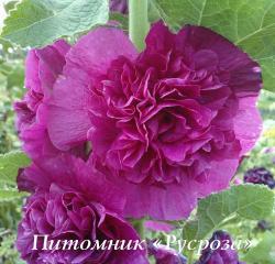 "Шток-роза ""Chater's Double Violet"" (Alcea rosea)"
