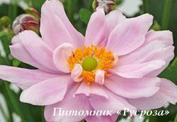 """Анемона """"Mont-rose"""" (Anemone)"""
