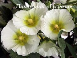 """Шток-роза  """"Polarstar"""" (Alcea rosea)"""