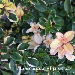 "Тимьян ""Foxley"" (Thymus)"