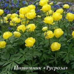 "Купальница ""Lemon Queen"" (Trollius)"