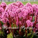 """Бадан """"Spring Fling"""" (Bergenia hybrida)"""