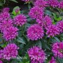 """Монарда """"Purple Lace"""" (Monаrda)"""
