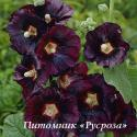 """Шток-роза """"Nigra"""" (Alcea rosea)"""