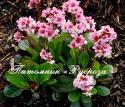"""Бадан """"Pink Dragonfly"""" (Bergenia hybrida)"""
