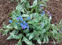 """Медуница длиннолистная """"E.B. Anderson"""" (Pulmonaria longifolia)"""