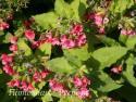 "Медуница красная ""Redstart"" (Pulmonaria rubra)"