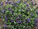 "Медуница длиннолистная ""Cevennensis"" (Pulmonaria longifolia)"