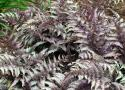 """Кочедыжник мужской """"Burgundy Lace"""" (Athyrium filix-mas)"""