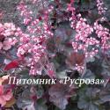 "Гейхера ""Cassis"" (Heuchera hybride)"