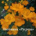 """Купальница китайская """"Golden Queen"""" (Trollius chinensis)"""