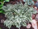 """Кочедыжник ниппонский (Папоротник) """"Metallicum"""" (Athyrium niponicum)"""